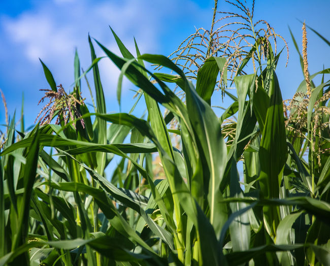 Corn field on a sunny day. Green Color Agriculture Beauty In Nature Blue Close-up Corn Crop  Day Green Color Nature No People Outdoors Plant Plant Part Sky Sunlight