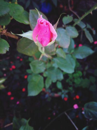 Flower Rosé Nature Pink Flower Macro Macro_flower Rose Flower