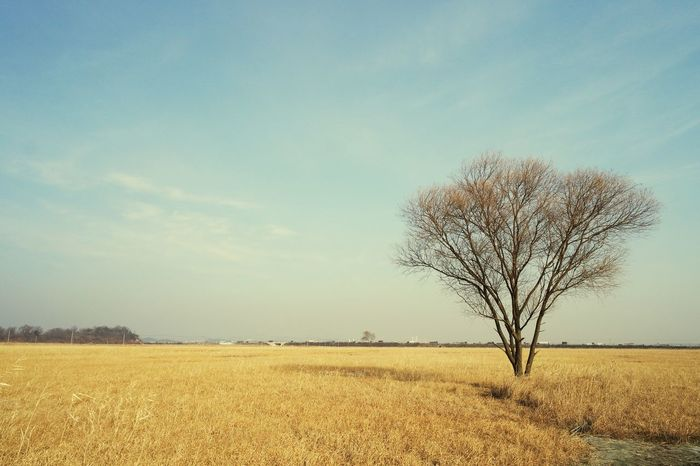 Tree Nature Landscape Tranquil Scene Tranquility Field Lone Beauty In Nature Bare Tree Sky Agriculture Rural Scene 화성 우음도 No People Sky And Clouds Landscape Photography Alonetraveler Traveling Finding New Frontiers Scenics Isolated Outdoors Growth Day Miles Away The City Light EyeEmNewHere Let's Go. Together.