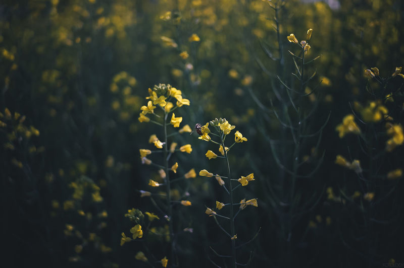 Agriculture Beauty In Nature Blooming Close-up Day Field Flower Fragility Freshness Growth Nature No People Outdoors Plant Yellow
