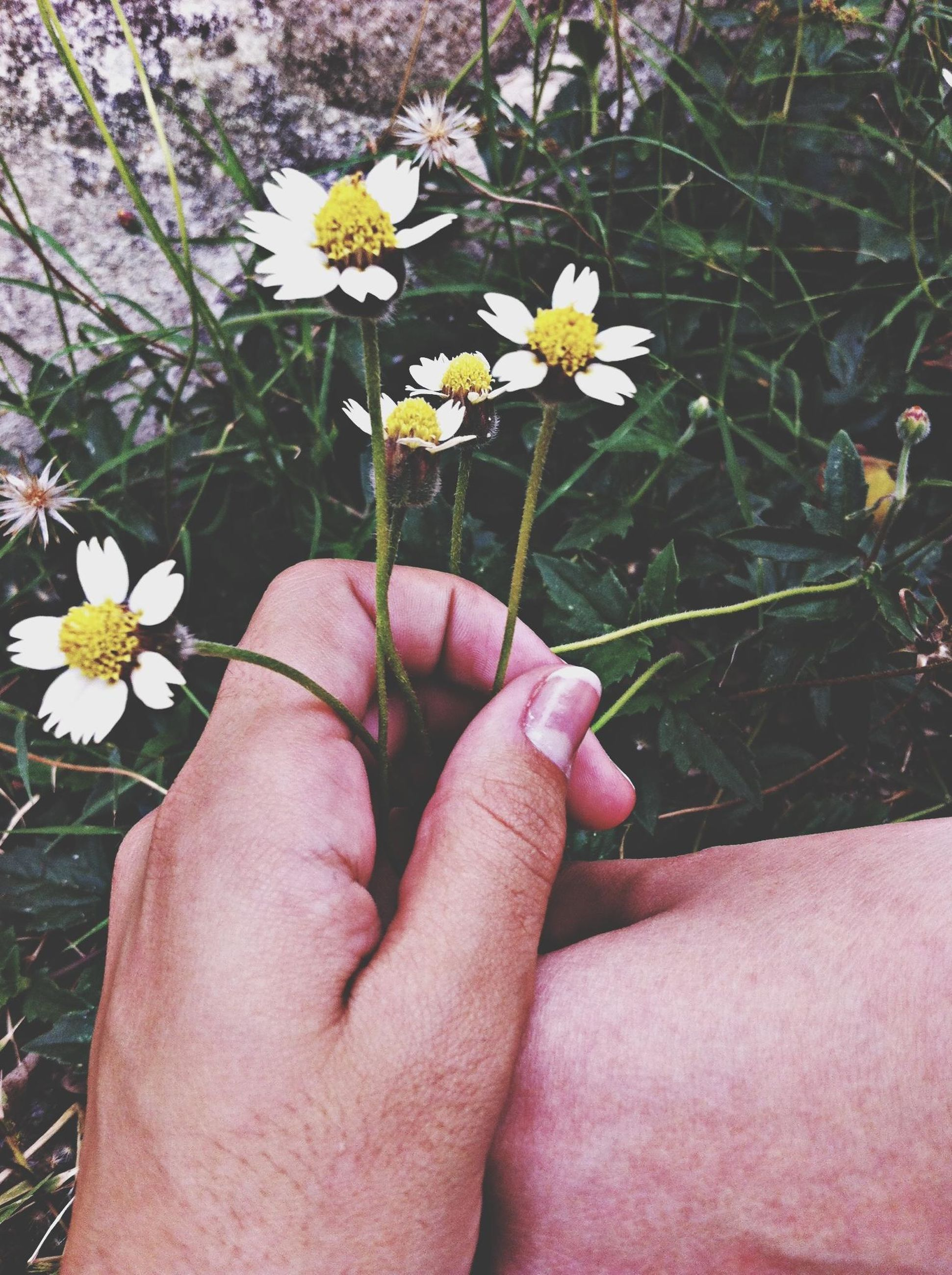 flower, person, fragility, freshness, holding, petal, flower head, part of, daisy, human finger, cropped, white color, beauty in nature, lifestyles, nature, growth