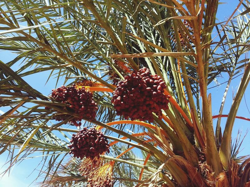 Beauty In Nature Berry Fruit Branch Close-up Date Palm Tree Dates Day Food Food And Drink Freshness Fruit Growth Healthy Eating Low Angle View Nature No People Outdoors Plant Red Ripe Tree Wellbeing EyeEmNewHere The Great Outdoors - 2018 EyeEm Awards