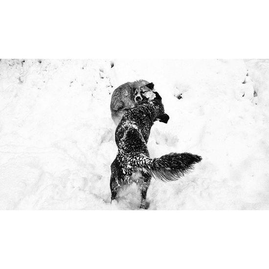Insta Instagood VSCO Vscocam Vscomania Bnw Blackandwhite Pictureoftheday Dog Wolfpack Snow