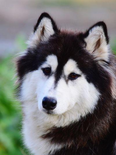 Close-Up Portrait Of A Husky