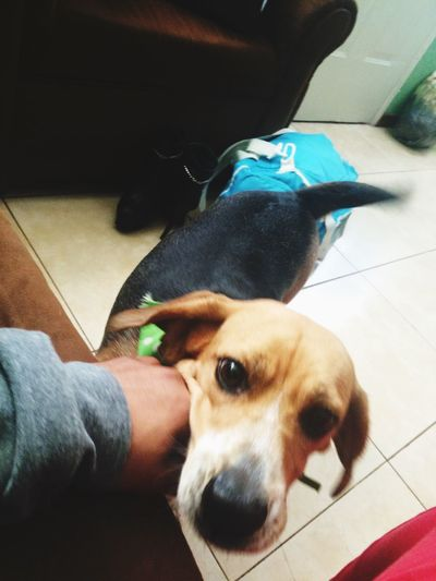 Beagle Pets Domestic Animals Dog Animal Themes Mammal One Person Real People One Animal Lifestyles Human Body Part Human Hand Holding Stroking Indoors  Low Section Medical Exam Day