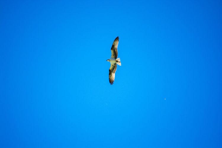 San Gerardo de Dota, Cartago, Costa Rica Animal Themes Animal Wildlife Animals In The Wild Bird Bird Of Prey Blue Clear Sky Day Flying Nature No People Outdoors Sky Spread Wings