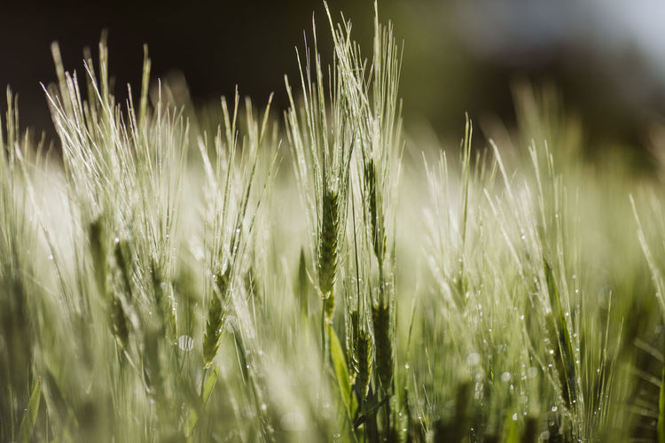 Agriculture Bio Cereal Farm Freshness Wheat Wheat Field Agriculture Alentejo Beauty In Nature Cereal Plant Crop  Day Field Grass Growth Land Nature No People Outdoors Plant Springtime Wheat Wheatgrass