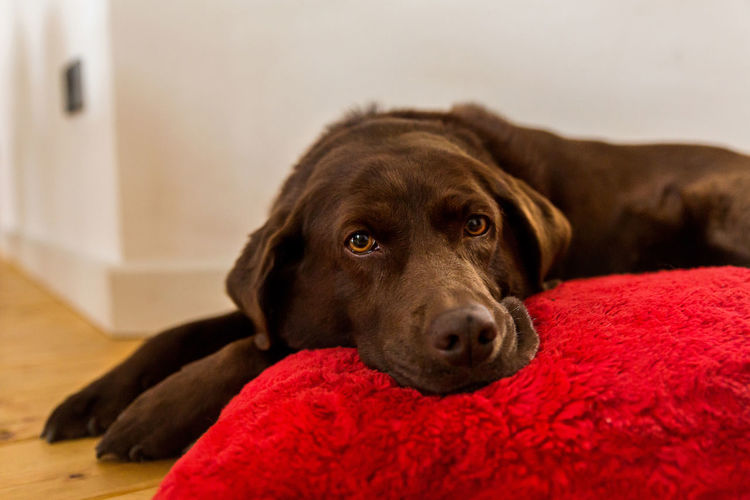 Portrait of chocolate labrador resting by red cushion at home