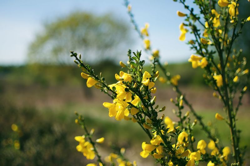 Flower Flowering Plant Plant Yellow Growth Freshness Vulnerability  Day Flower Head No People Focus On Foreground Petal Close-up Inflorescence Outdoors Fragility Sunlight Beauty In Nature Nature Blossom