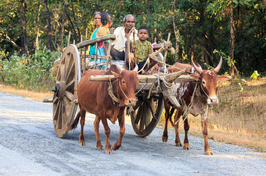A typical village scene showing a bullock cart used as a form of transport. Ancient Bullock Cart BULLOCK CARTS INDIA INDIAN VILLAGE SCENE Bullockcart Bullocks Candid Candid Photography Cart Domestic Animals India Karnataka Leisure Activity Lifestyles Ox Cart Transportation Village Life Village Photography Village Scene