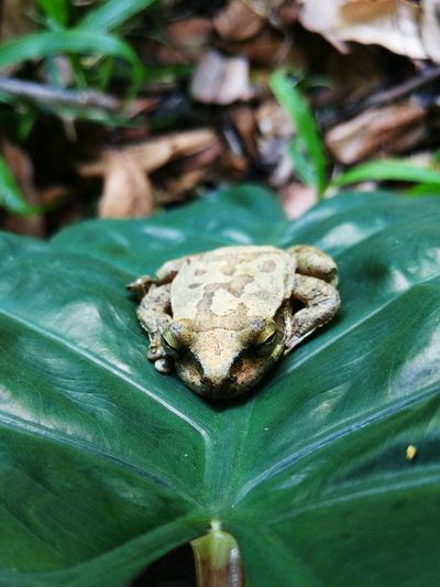 Frog Nature Photography Nature Natural Beauty Nature_collection Frogs Leaf Close-up Animal Themes Green Color