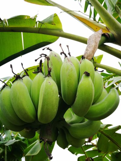 Green Color Green Banana Tree Banana Leaf Green Bananas Vietnam Fruit Food And Drink Green Color Food Healthy Eating Freshness Unripe Growth Leaf Agriculture Vegetable Tree No People Day Outdoors Nature Close-up