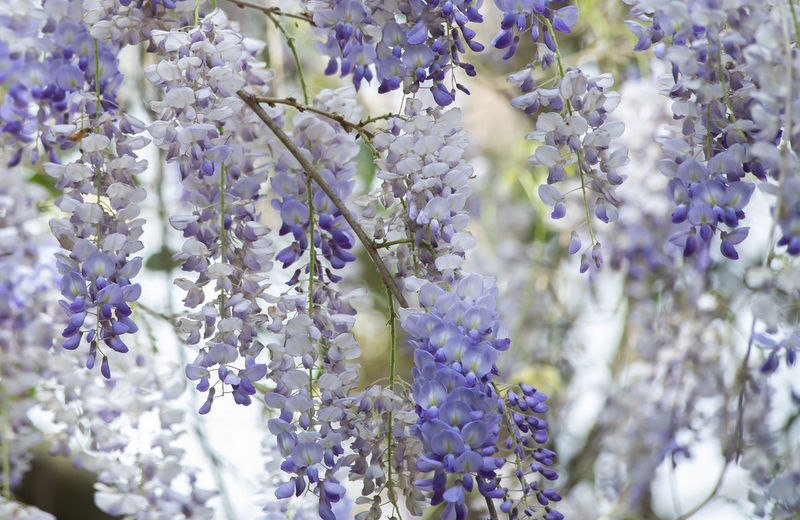 Close up of American wisteria (Wisteria frutescens) hanging down Wisteria Violet Vine Rural Purple Plant Petals Outside Outdoors Organic Organism Nature Lush Living Lilac Light Leaves Herb Hanging Growth Growing Grow Fresh Fragrant Foliage Flower Floral Environment Ecology Down Day Dangling Creeper Close-up Climber Cascading Bunch Bud Bright Botany Botanical Blue Blossom Blooming Bloom Biology Biodiversity Background American Alive