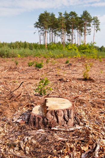 Woods lone stump after deforestation blast woods in Poland. Group of last coniferous trees blurred behind, dried forest nature degradation, environment control. Vertical orientation. nobody. Bole Chop Coniferous Cut Deforestation Ecology Environment Forest Hack Landscape Logging Nature No People Outdoors Reduction Rural Scene Sawed Stump Timber Industry Tree Trees Trunk Undergrowth Wood Woods