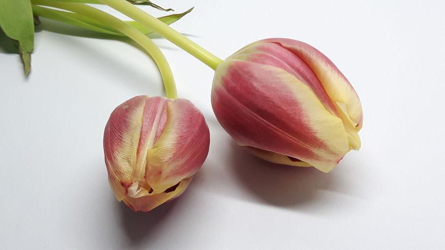 *5 Two Tulip