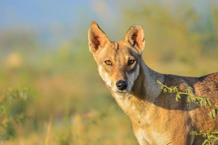 Close-Up Portrait Of Wild Dog
