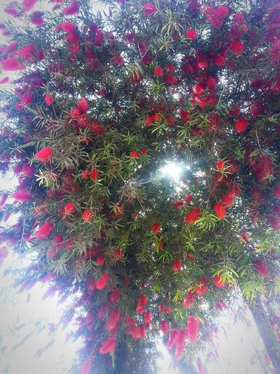 Low Angle View Nature No People Outdoors Branch Beauty In Nature Day Red Tree Growth Sunbeam Through The Trees Redleafs Plant Redtree Hanged Close-up Egypt