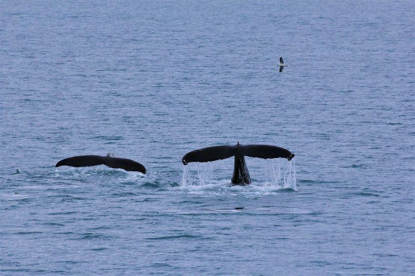 Wildlife Water Animal Wildlife Humpback Whale Whale The Great Outdoors - 2017 EyeEm Awards Akureyri Iceland Eyjafjörður Neighborhood Map