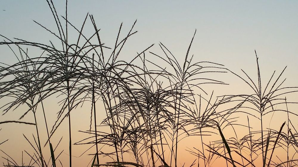 Doesnt the silver grass silhouette look like fireworks against the sky. 억새들의 외형 불꽃처럼 하늘에 터뜨린 같아요. Travel Photography Autumn Flowers Festival South Korea Traveling Silhouette Fall Beauty Autumn 2015 Sunset Firework Learn & Shoot: Simplicity Pattern Pieces Pastel Power Fine Art Photography BYOPaper!