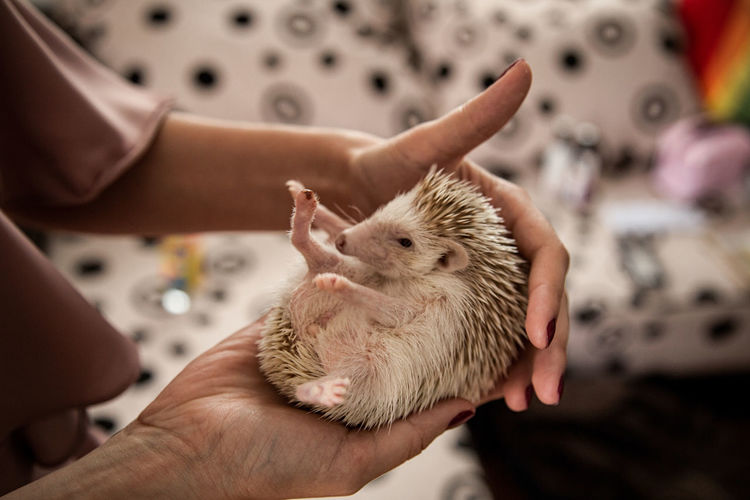 Midsection of person holding hedgehog