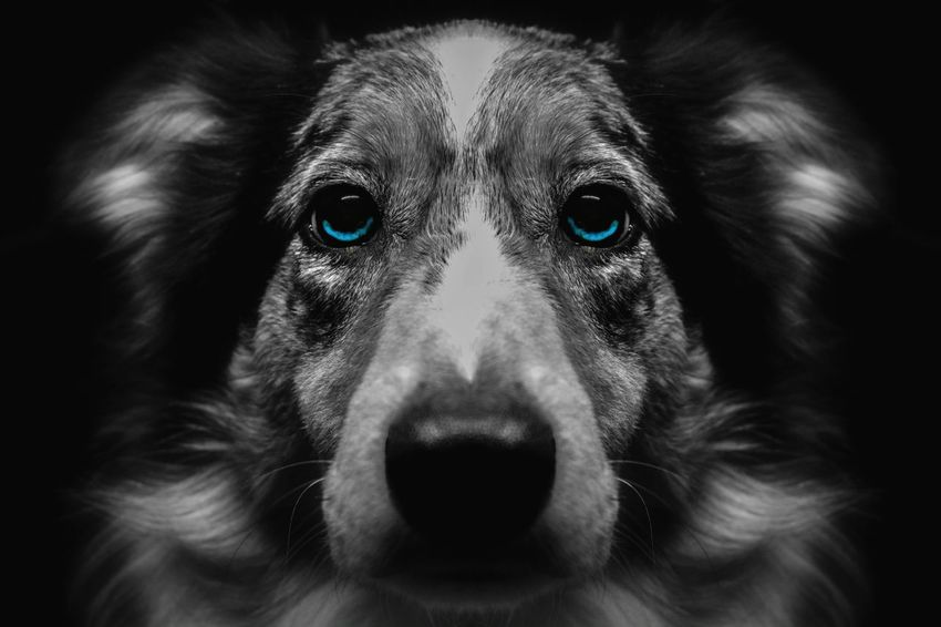 Border Collie Blue Eyes Dog Puppy Black And White With A Splash Of Colour Symetry Looking At Camera Close-up EyeEm Ready