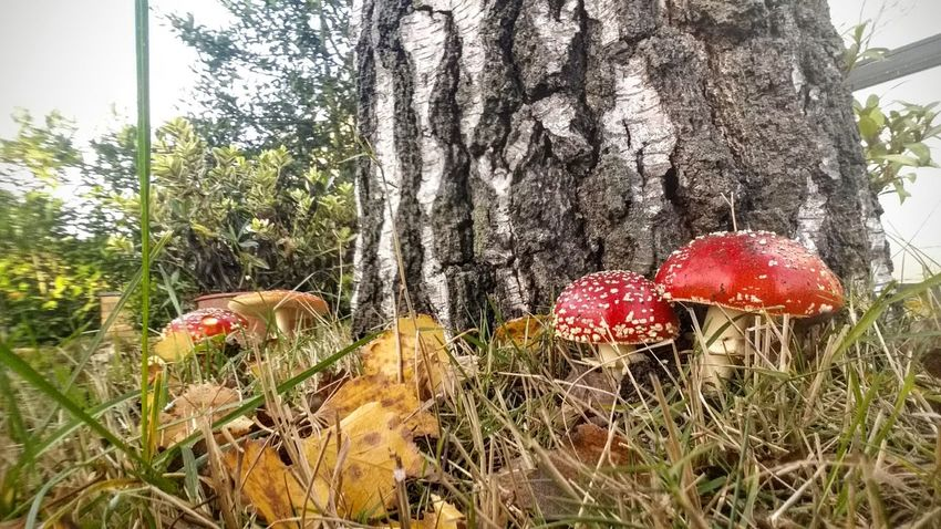 Red Growth Tree Nature No People Outdoors Beauty In Nature Day Grass Close-up Fly Agaric Mushroom I Like This Shot On My Way Fly Agaric Mushroom Mushroom Poisonous Red And White Colour I Have Found It My Point O View I Like Eyyem My Point Of View Beauty In Nature