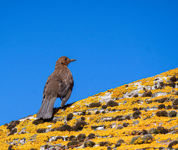 Low angle view of bird perching on rock against blue sky