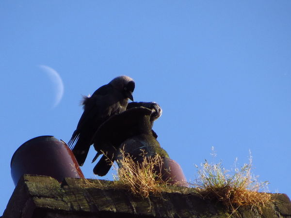 Jackdaws on the chimney with moon Birds Blue Sky Chimney Chimney Pot Crescent Moon Grass Jackdaws Summer Together Wildlife