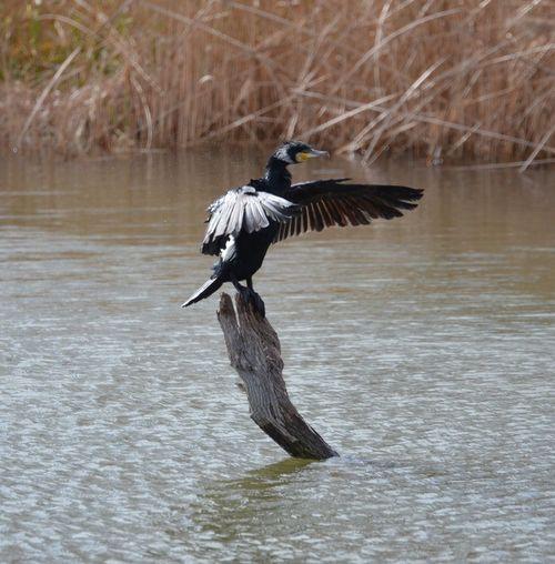 Cormorant Spreading Wings On Log Amidst Lake