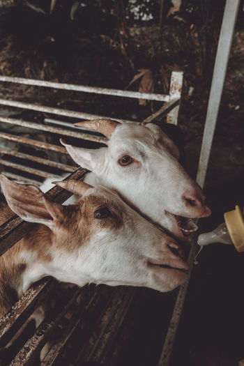 Close-Up High Angle View Of Goats At Farm
