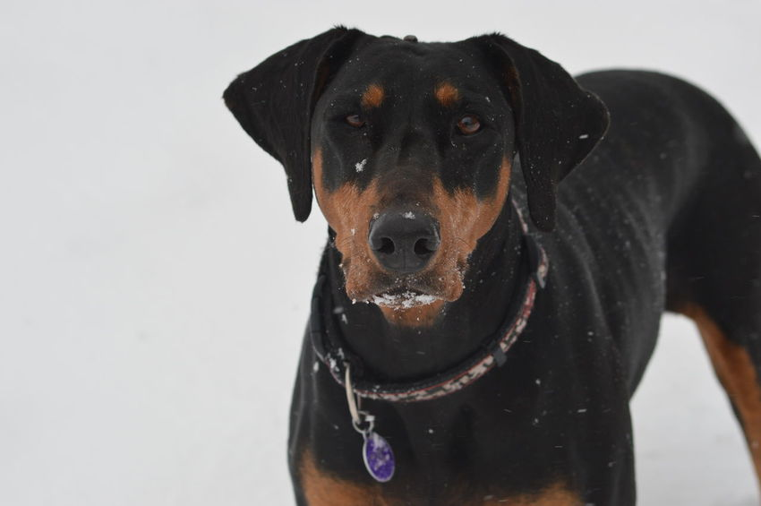 Snow Winter Doberman  Dog EyeEm Selects Dog Pets One Animal Domestic Animals Portrait Mammal No People Animal Themes Outdoors Day