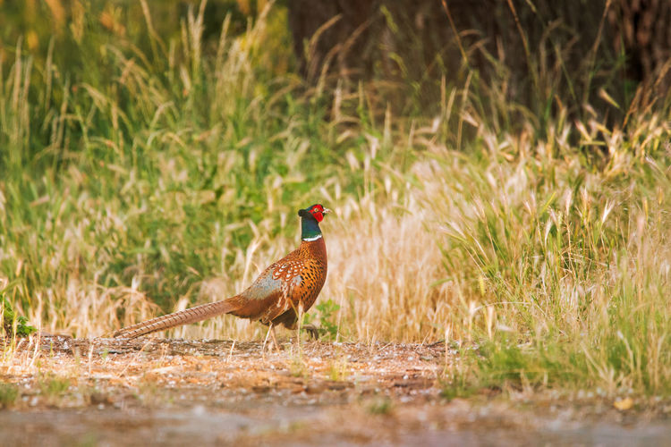 Pheasant perching on field