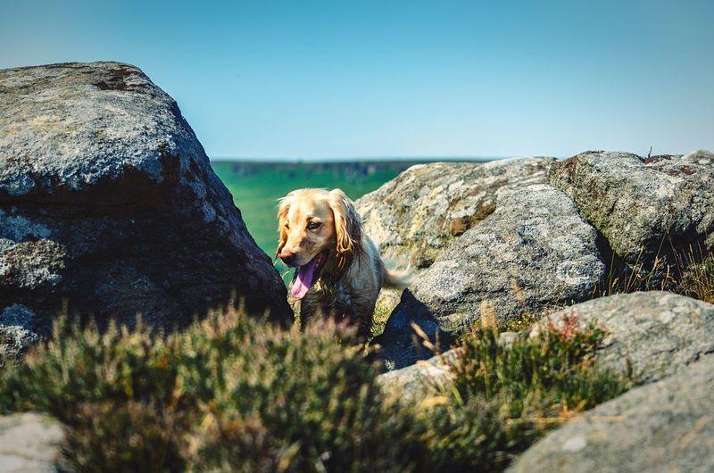 Dog amidst rocks against clear blue sky
