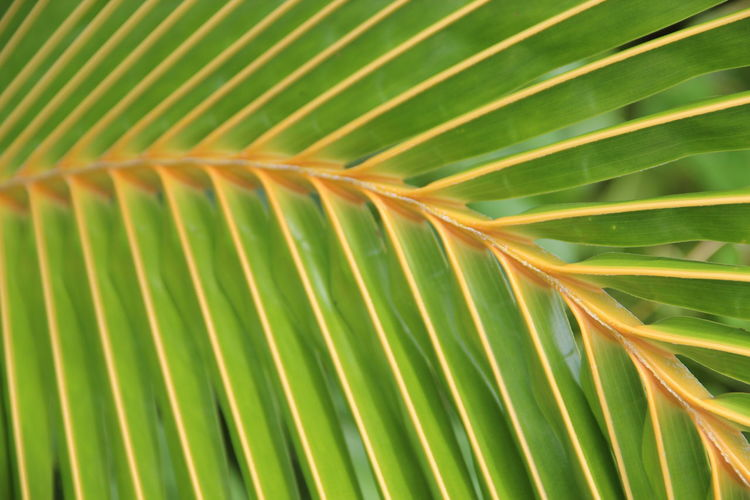 No Filter, No Edit, Just Photography Focus On Foreground Point Of View Another Point Of View Special View Macro Macro Photography Nice View EyeEm Selects EyeEm Nature Lover EyeEm Best Shots Palm Tree Frond Leaf Fern Backgrounds Tree Palm Leaf Full Frame Close-up Green Color Plant Life Tropical Tree Botany Coconut Palm Tree 17.62°