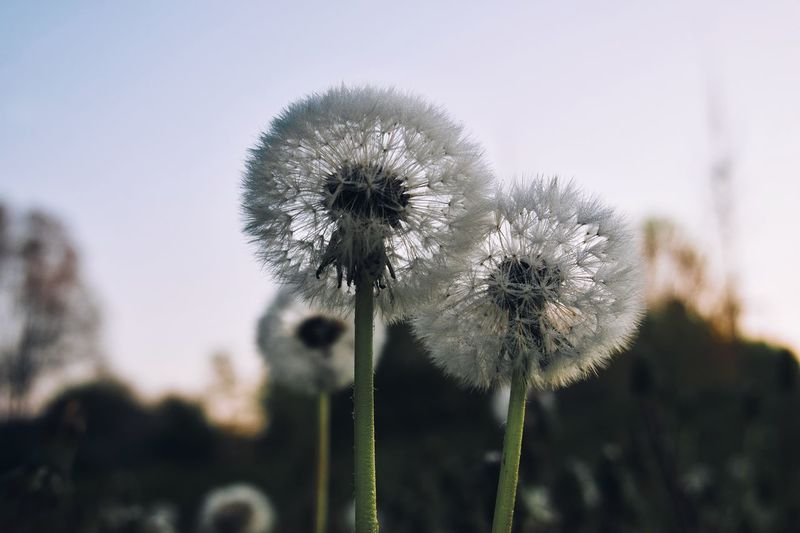 Plant Flower Flowering Plant Growth Focus On Foreground Fragility Vulnerability  Day Beauty In Nature Close-up Flower Head Plant Stem Dandelion Outdoors Inflorescence Tranquility Nature No People Freshness Sky
