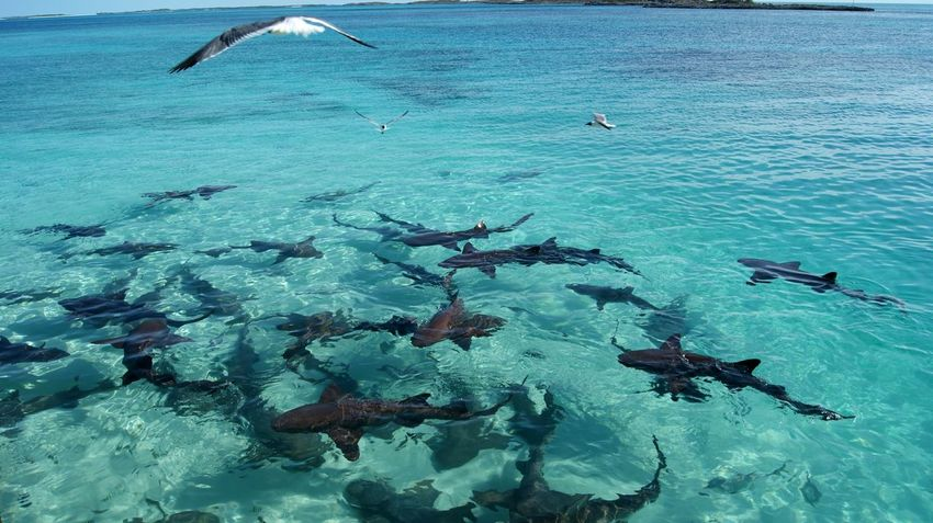 Sea UnderSea Underwater Large Group Of Animals Fish Water Beach Nature Sea Life Scuba Diving Swimming Blue Day Shark Beauty In Nature Animals In The Wild Outdoors No People Tourism Sharks Nurse Shark Exuma Travel Destinations Animal Themes Swimming