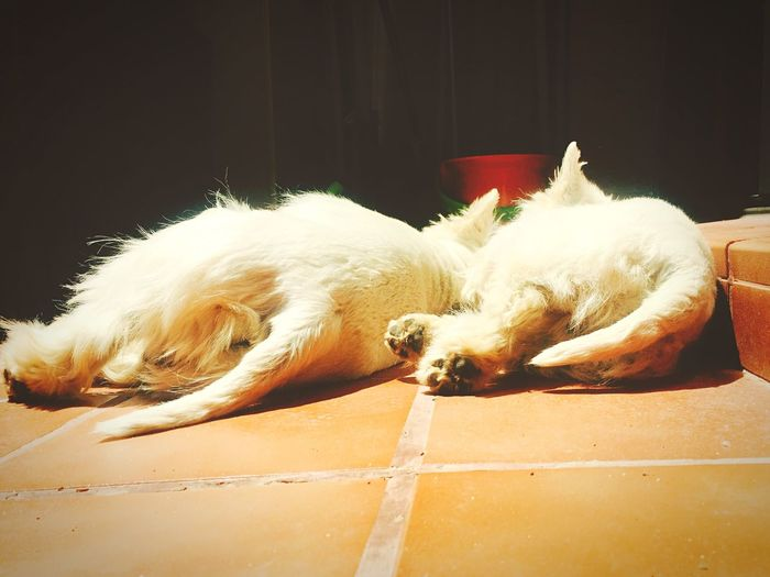 The Essence Of Summer Dogs Life Dogsleeping Westy West Highland White Terrier Westies Dogs Sunbathing Sunbathing Terrace Time Summer Summer Sun Pet Portraits