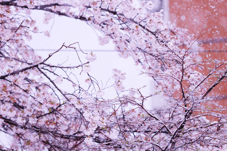 Low angle view of cherry blossoms and snow against sky