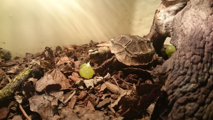 Baby Holmes Hingeback Feeding Baby Bright Chelonia Eating Holmes Leaf Litter Reptile Animal Themes Animal Wildlife Beauty In Nature Branch Close-up Cute Day Fragility Fruit Grape Hatchling Nature No People One Animal Pet Pretty Shell Tortoise