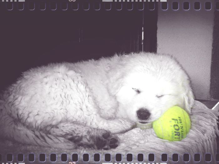 Anselmo in uno dei rari scatti infantili, tanto è stata breve la sua infanzia. Dogslife Dog Animals Dog Sleeping