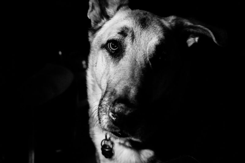 One Animal Portrait Domestic Animals Mammal Domestic Pets Dog Canine Close-up Looking At Camera Indoors  Vertebrate Animal Body Part Headshot Body Part Dark Black Background