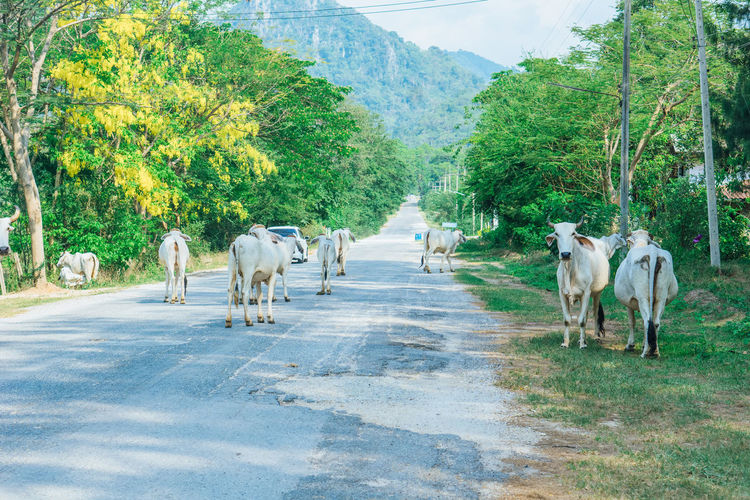 View of cows on road