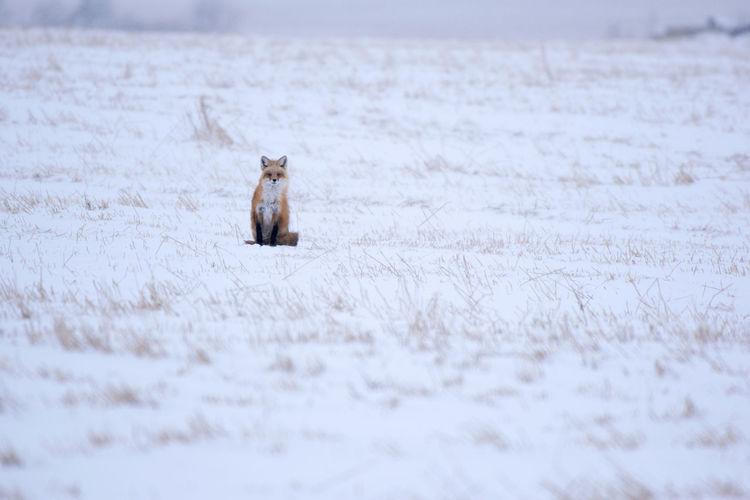 Close-up of fox on snow field