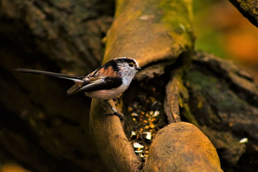 Animal Themes Animal Wildlife Animals In The Wild Beauty In Nature Bird Close-up Day Long Tailed British Bird Nature No People One Animal Outdoors Perching Tree Wood - Material