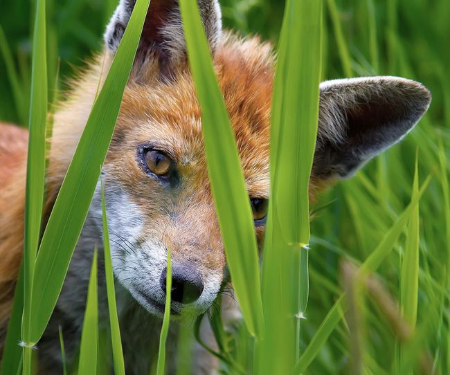 Fox cub in the reeds. Fox Cub Wildlife & Nature Hunter Wild Beautiful Nature Watching Fox Face Nature On Your Doorstep Natures Diversities