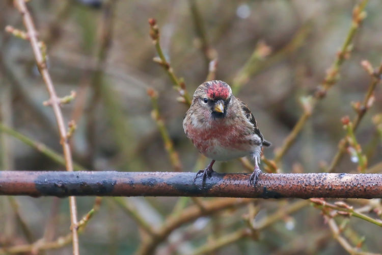 Lesser Redpoll Bird Animal Animal Themes Perching Vertebrate One Animal Animal Wildlife Animals In The Wild Branch Day Tree Plant Nature Focus On Foreground No People Close-up Selective Focus Outdoors Front View Twig