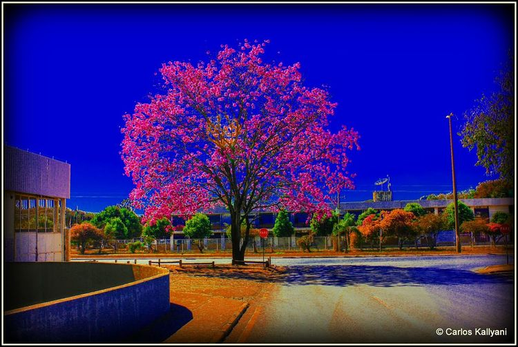 Ipê Tree Illuminated No People Flower Foto Photography Fotografia Photo Brasília Minha♥ Tree Brasília Clear Sky Flowers Florida Fotoart Day Plant Fragility Fotoarte Fotoartegram Fotoartistica Ipê Iperosa Ipês