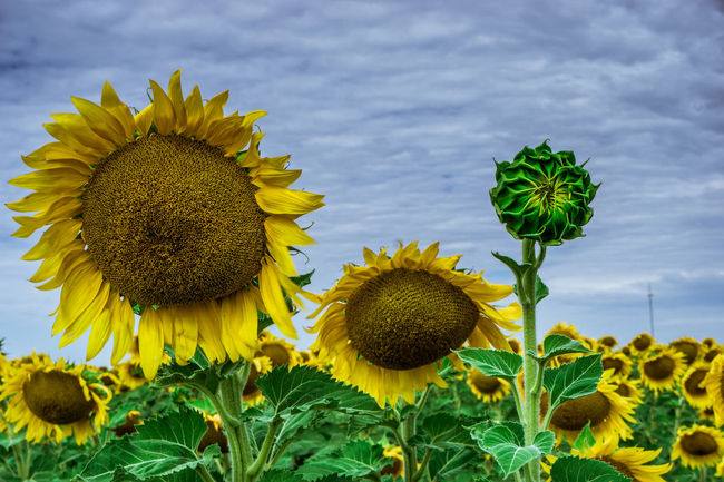 Agriculture Beauty In Nature Birth Blooming Close-up Cloud Colour Of Life Day Field Flower Flower Head Fragility Freshness Growth Happy Nature Outdoors Pivotal Ideas Plant Rural Scene Saturdaysong_eyeemchallenge Sunflower Tranquil Scene Tranquility Yellow Summer Exploratorium