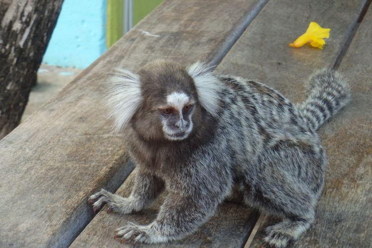 High angle view of tamarin monkey on table
