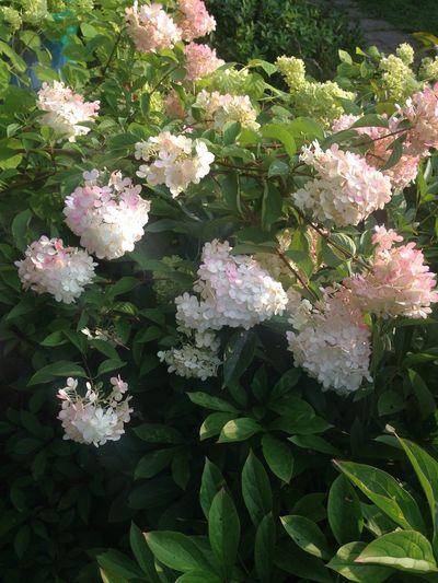 White Flowers Summer Greenleaves